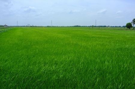 Rice seedlings  photo