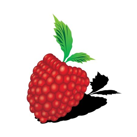 Raspberry with leaves vector  Vector