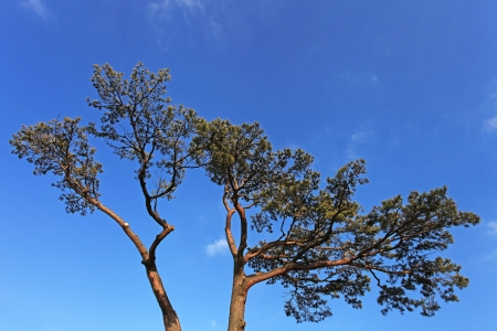 Vertical tree on the blue sky background photo