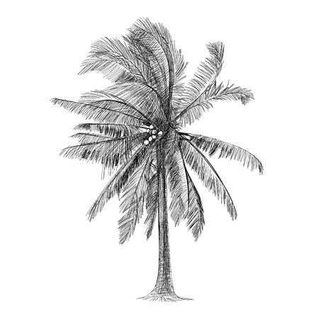 Disegnati a mano - Albero di cocco Archivio Fotografico - 18900951