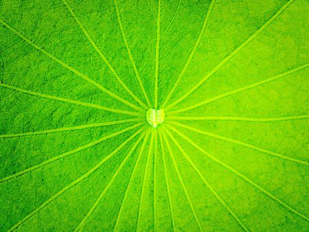 Lotus leaf background photo