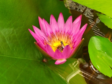Bee in the Water Lily, lotus photo