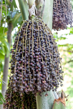 Ripe betel nut - betel palm on tree photo