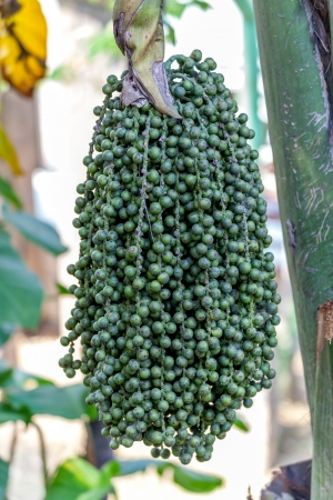 Ripe betel nut - betel palm on tree photo