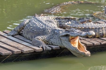 crocodile in the zoo Thailand Stock Photo - 25304991