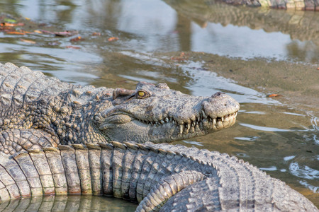 crocodile in the zoo Thailand Stock Photo - 25304995