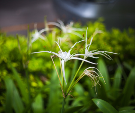 White spider lily flower -Hymenocallis littoralis photo
