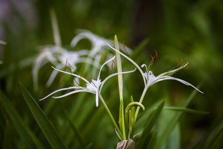 spider lily: White spider lily flower -Hymenocallis littoralis