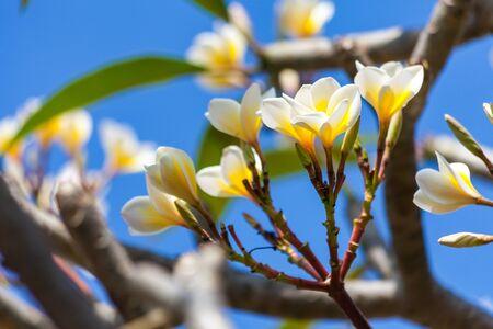 Plumeria flower blooming on tree, spa flower