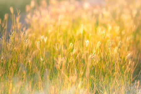 soft focus of beautiful tropical grass flower in nature Stock Photo