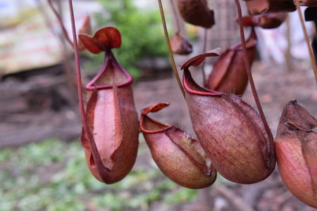 insectivorous: many beautiful pitcher of carnivorous plant Nepenthes