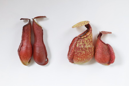 contradictory: isolated background of beautiful pitcher carnivorous plant Nepenthes in contradictory concept Stock Photo