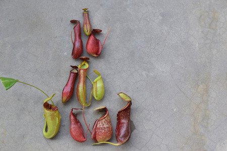carnivorous: Beautiful pitcher carnivorous plant Nepenthes in ground Stock Photo