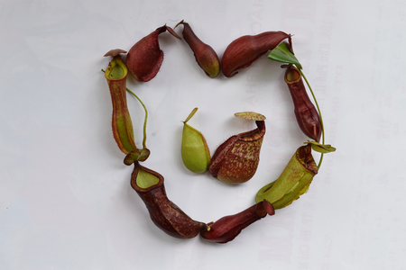 protected plant: isolated background of beautiful pitcher carnivorous plant Nepenthes in heart shape