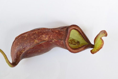 protected plant: isolated background of beautiful pitcher carnivorous plant Nepenthes digest ants