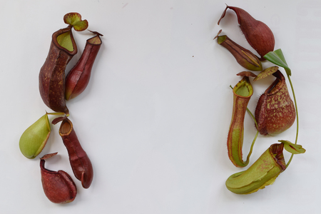 protected plant: isolated background of beautiful pitcher carnivorous plant Nepenthes