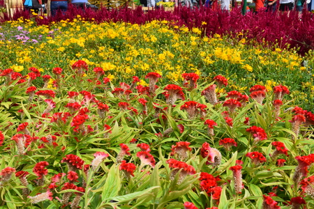 flower festival for Lunar new year decoration in Vietnam with many kind of colorful flowers in wooden pots on the street