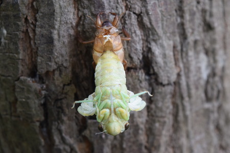 to metamorphose: Insect molting cicada on tree in nature.Cicada metamorphosis grow up to adult insect
