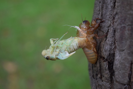 molting: Insect molting cicada on tree in nature.Cicada metamorphosis grow up to adult insect