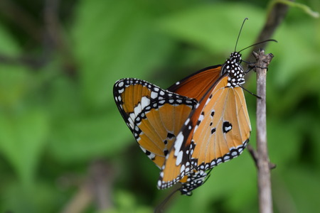 The beautiful Towny Coster butterfly mating on green background.(Acraea violae) Stock Photo