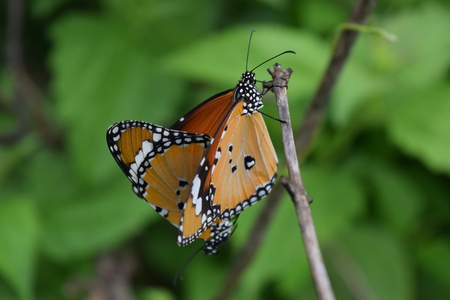 reproduction animal: The beautiful Towny Coster butterfly mating on green background.(Acraea violae) Stock Photo