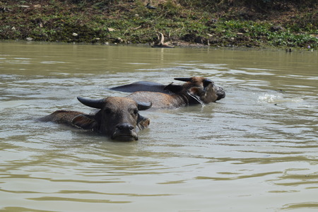 alluvial: Big domestic water buffalo soak bathe in river