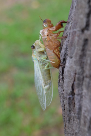 Insect molting cicada on tree in nature.Cicada metamorphosis grow up to adult insect