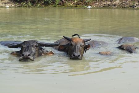soak: Big domestic water buffalo soak bathe in river