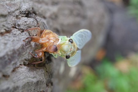 metamorphosis: Insect molting cicada on tree in nature.Cicada metamorphosis grow up to adult insect