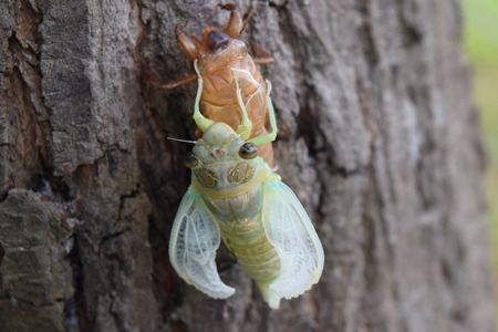 metamorphose: Insect molting cicada on tree in nature.Cicada metamorphosis grow up to adult insect