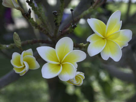 leelawadee: leelawadee, frangipani flower Stock Photo