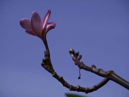 leelawadee, frangipani flower photo