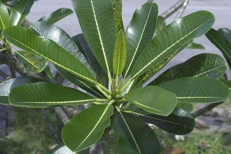 leelawadee: frangipani leaf ,leelawadee leaf