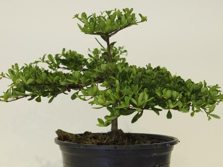 Dwarf trees  photo