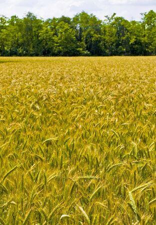 harvest field: wheat harvest field background