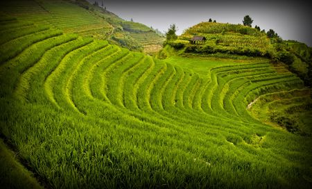 rice field landscape in china Stock Photo - 3321424