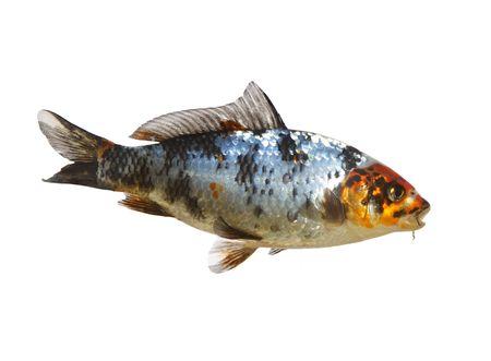 asian gardening: fine image of isolated japanese koi fish Stock Photo