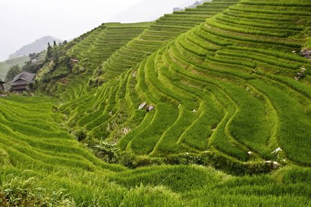 image of classic asian rice field background Stock Photo - 3683770
