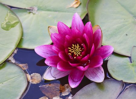 fine image of classic Nymphaea plant  background photo