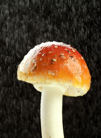 Amanita muscaria, fly agaric close up image of mushroom  photo