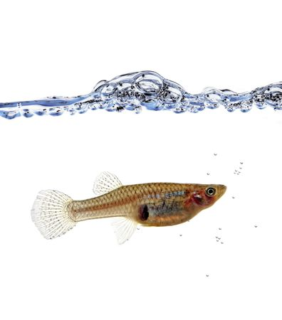 swimm: fine close up image of Mosquitofish in the water