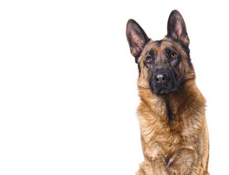 perro policia: shepard alemán aislados en blanco con espacio para texto