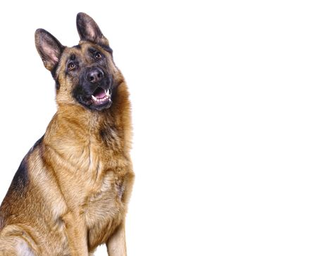 german shepard isolated on white with space for text Stock Photo