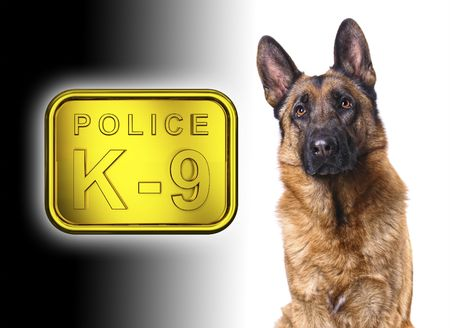 german shepard isolated on white with k9 police golden plate photo