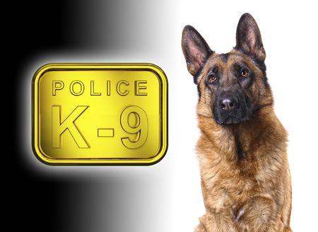 obedience: shepard alemán aislados en blanco con placa de oro de la policía de k9  Foto de archivo