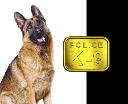german shepard isolated on white with k9 golden plate photo