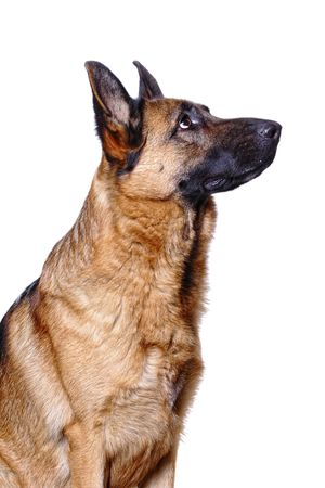 k9: young german shepard background isolated on white Stock Photo