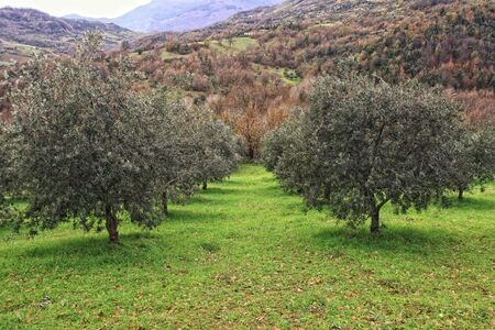 group of olive tree in green field and mountain background Stock Photo - 6241176