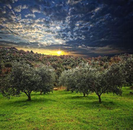 緑の野原とウッドの背景のオリーブの木のグループ 写真素材