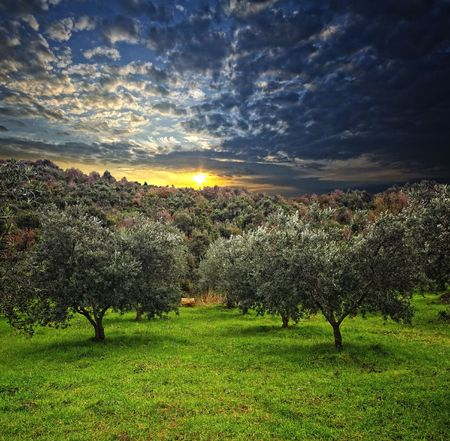 group of olive tree in green field and wood background photo
